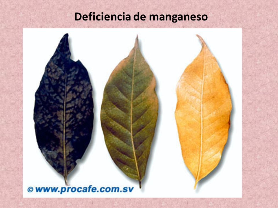 Deficiencia de manganeso