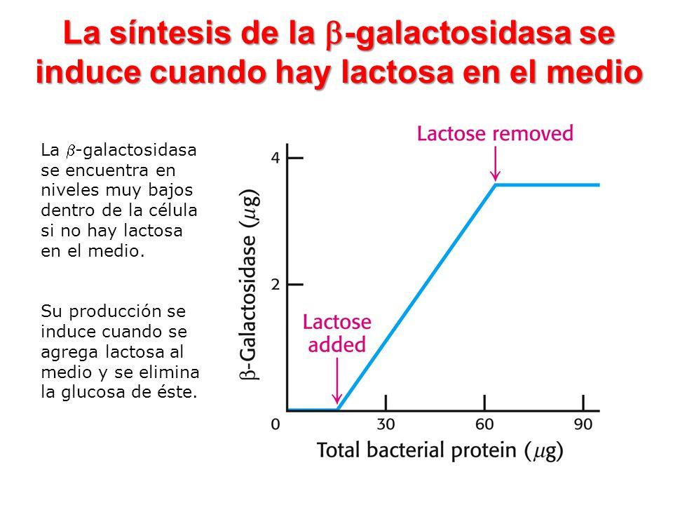 La síntesis de la b-galactosidasa se induce cuando hay lactosa en el medio