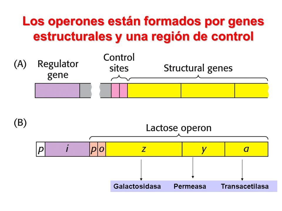 Los operones están formados por genes estructurales y una región de control