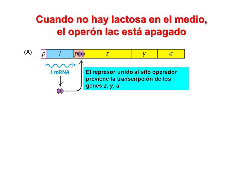 Cuando no hay lactosa en el medio, el operón lac está apagado