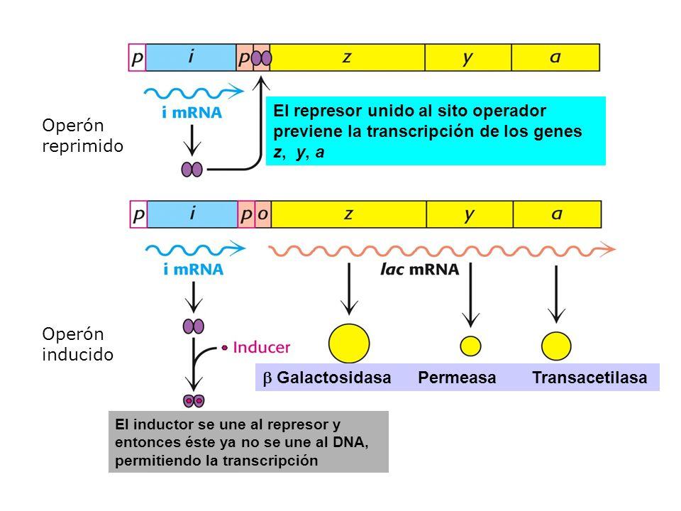 b Galactosidasa Permeasa Transacetilasa