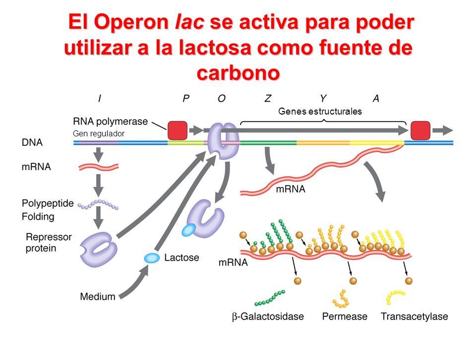 El Operon lac se activa para poder utilizar a la lactosa como fuente de carbono