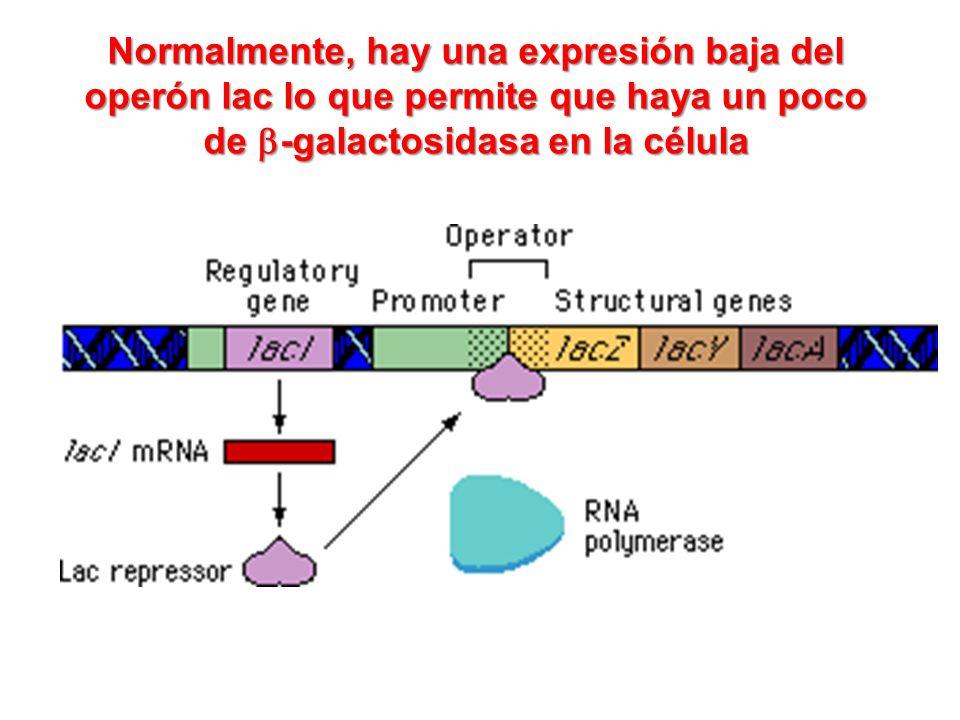 Normalmente, hay una expresión baja del operón lac lo que permite que haya un poco de b-galactosidasa en la célula