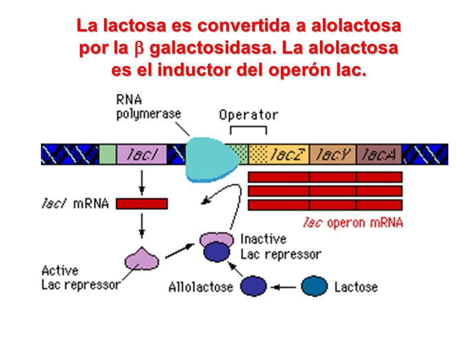 La lactosa es convertida a alolactosa por la b galactosidasa