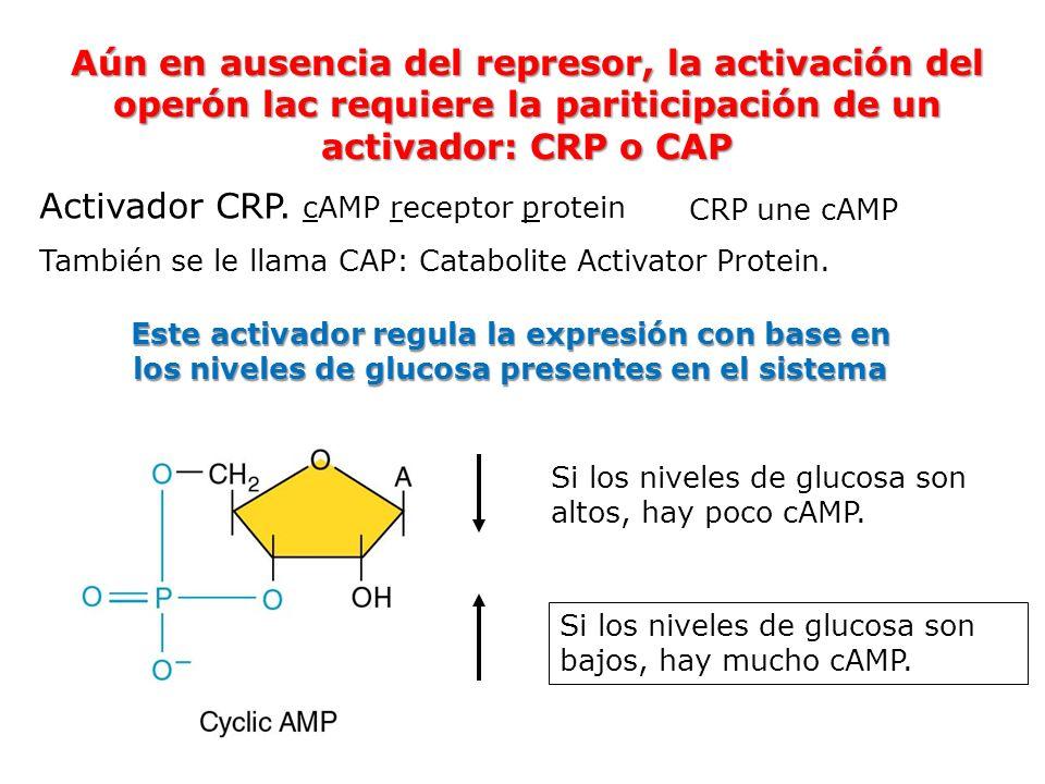 Activador CRP. cAMP receptor protein