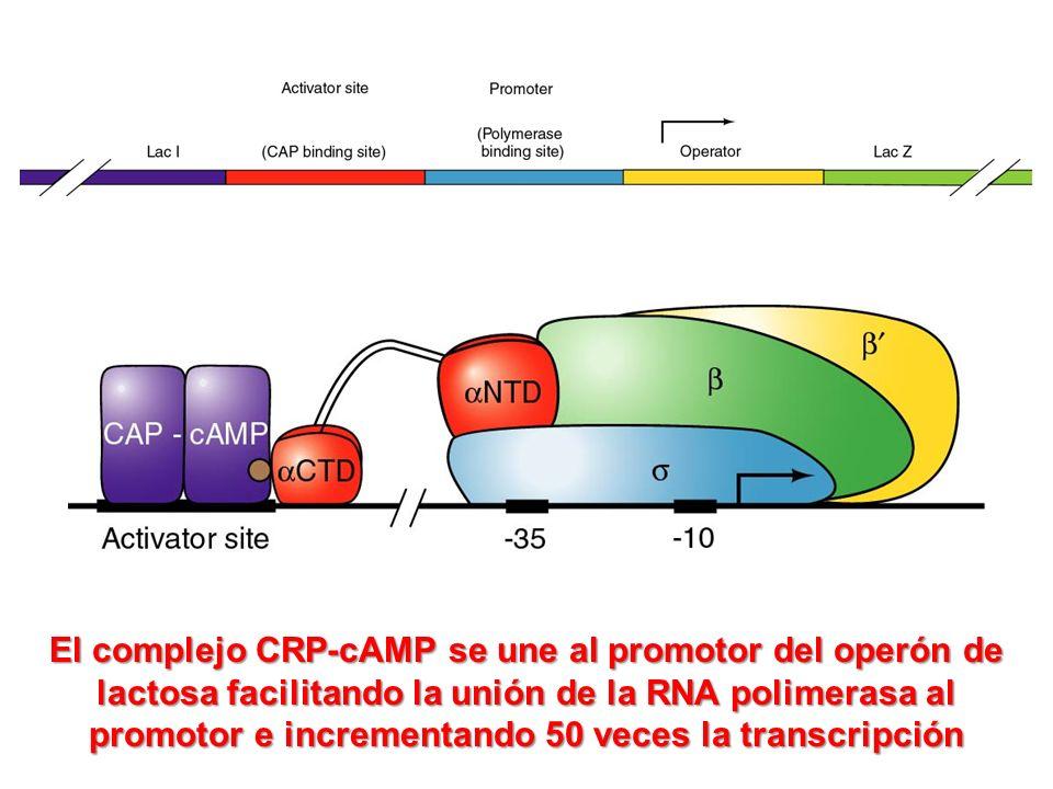 El complejo CRP-cAMP se une al promotor del operón de lactosa facilitando la unión de la RNA polimerasa al promotor e incrementando 50 veces la transcripción