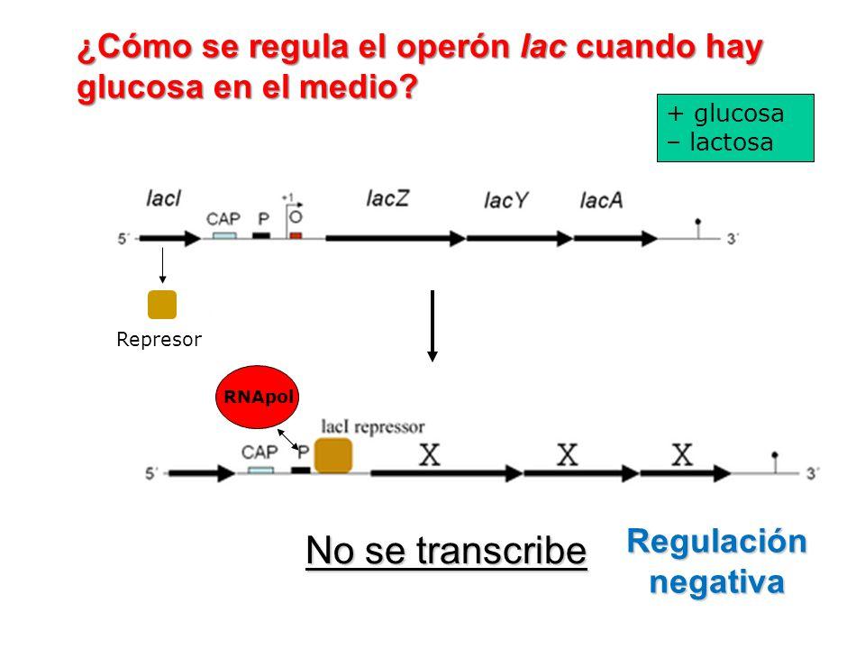 ¿Cómo se regula el operón lac cuando hay glucosa en el medio