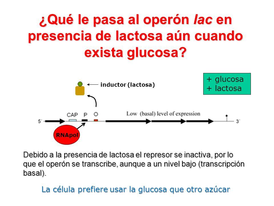 ¿Qué le pasa al operón lac en presencia de lactosa aún cuando exista glucosa