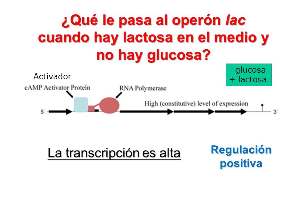 ¿Qué le pasa al operón lac cuando hay lactosa en el medio y no hay glucosa
