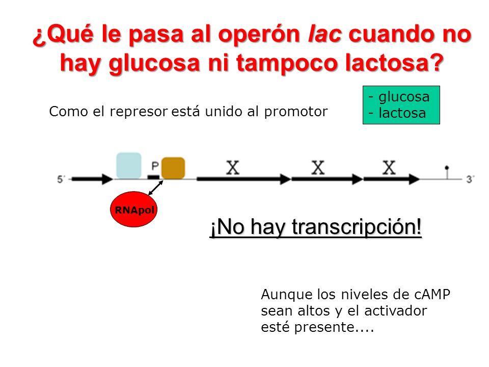 ¿Qué le pasa al operón lac cuando no hay glucosa ni tampoco lactosa