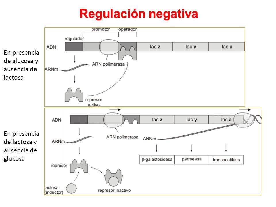 Regulación negativa En presencia de glucosa y ausencia de lactosa