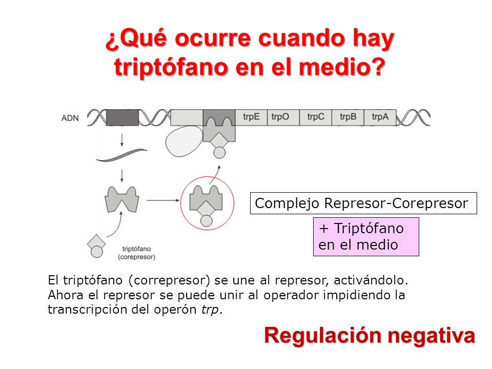 ¿Qué ocurre cuando hay triptófano en el medio