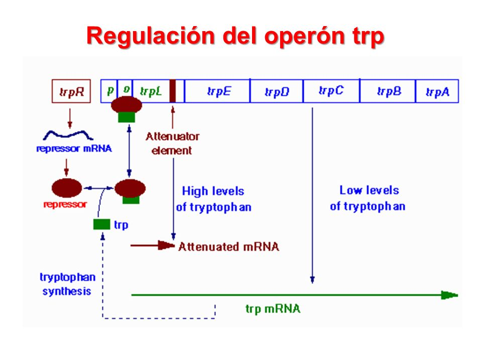 Regulación del operón trp