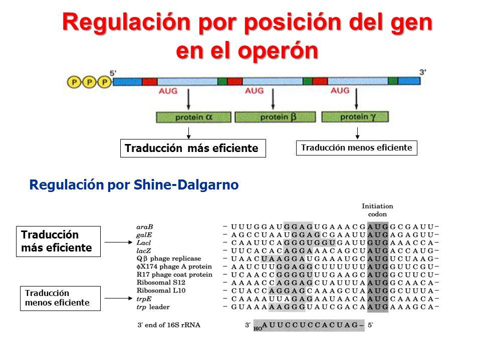 Regulación por posición del gen en el operón