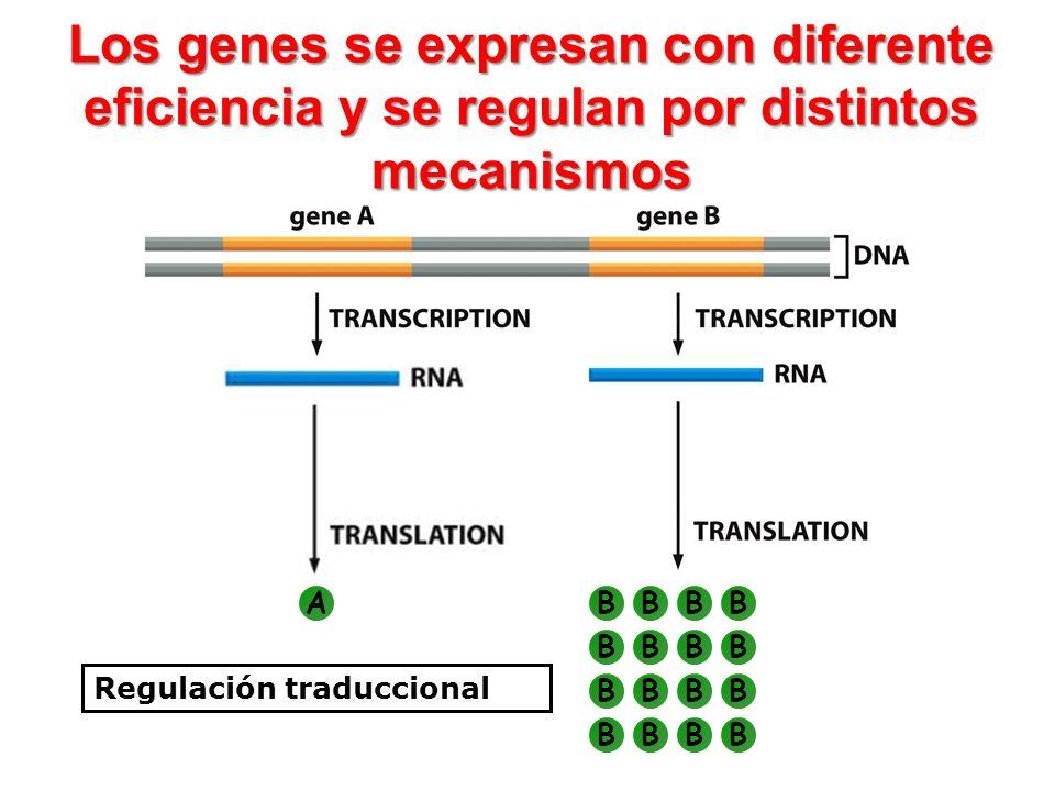 Los genes se expresan con diferente eficiencia y se regulan por distintos mecanismos