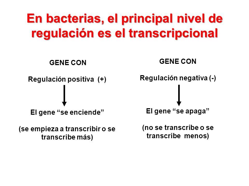En bacterias, el principal nivel de regulación es el transcripcional