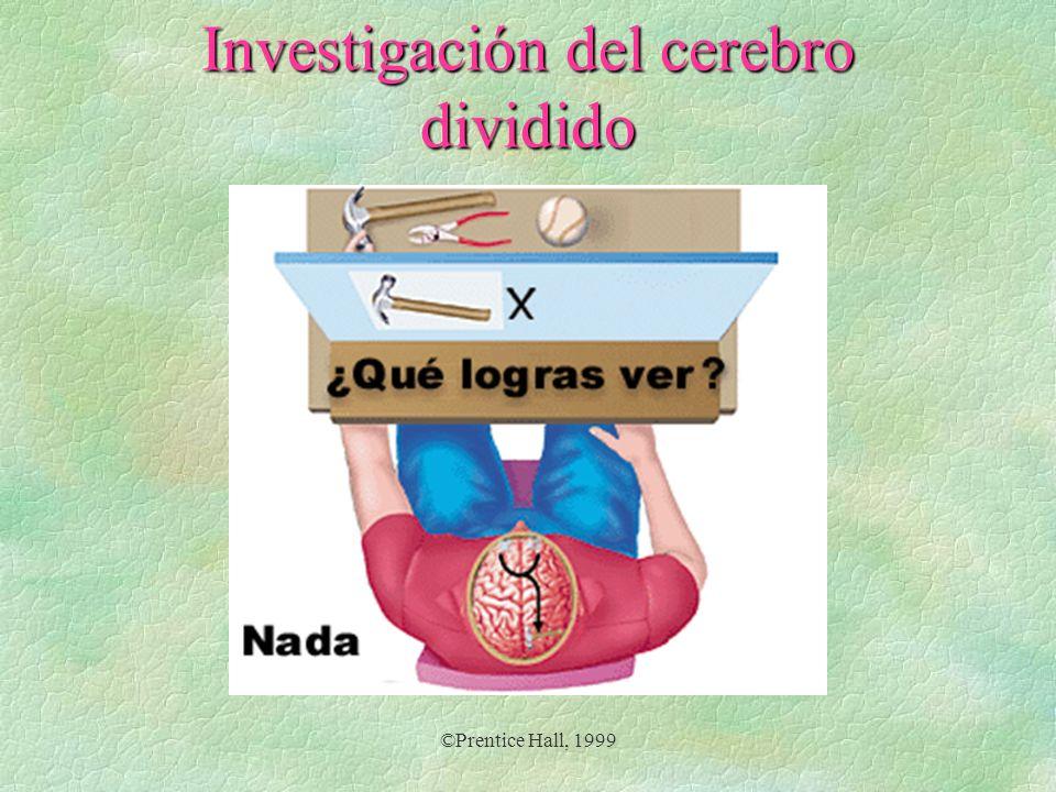 Investigación del cerebro dividido