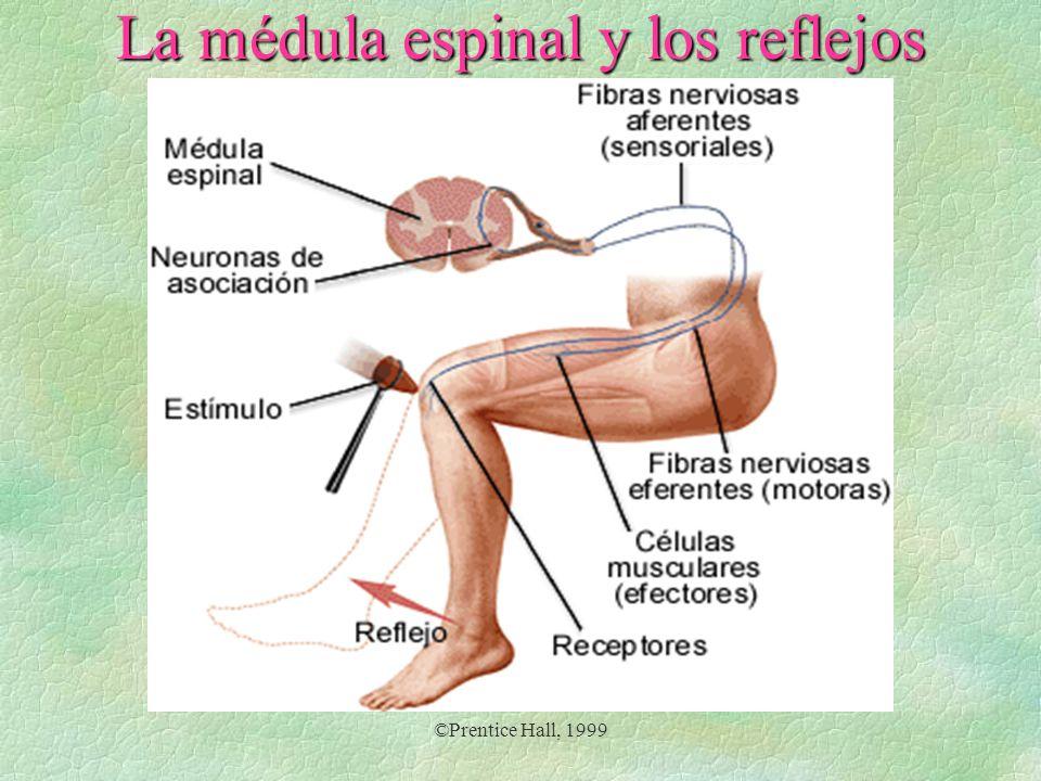 La médula espinal y los reflejos