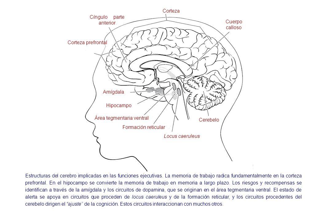 Cíngulo parte anterior Cuerpo calloso