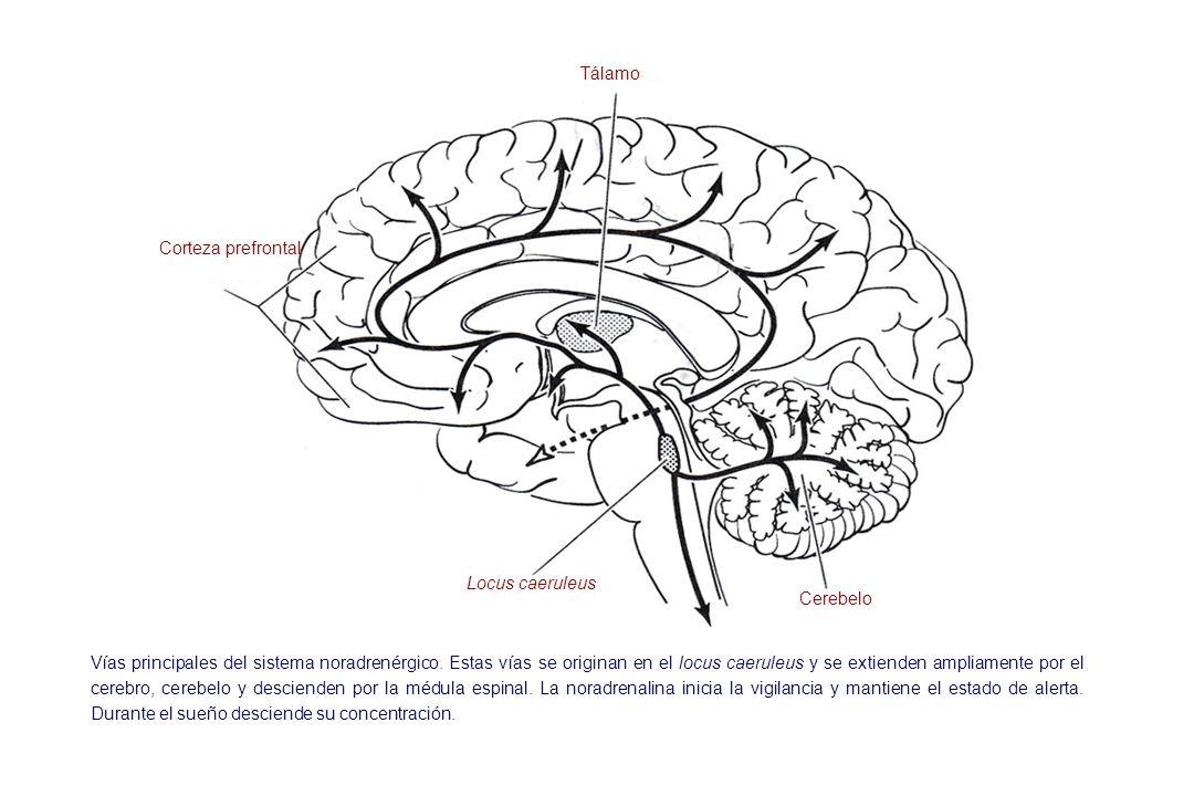 Tálamo Corteza prefrontal. Locus caeruleus. Cerebelo.