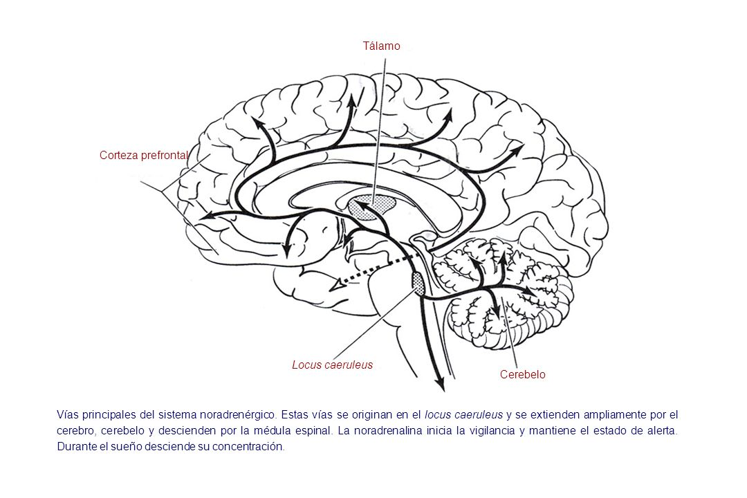 TálamoCorteza prefrontal. Locus caeruleus. Cerebelo.
