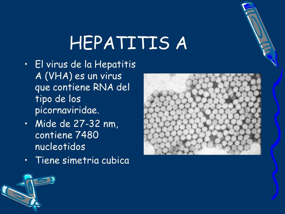 HEPATITIS A El virus de la Hepatitis A (VHA) es un virus que contiene RNA del tipo de los picornaviridae.