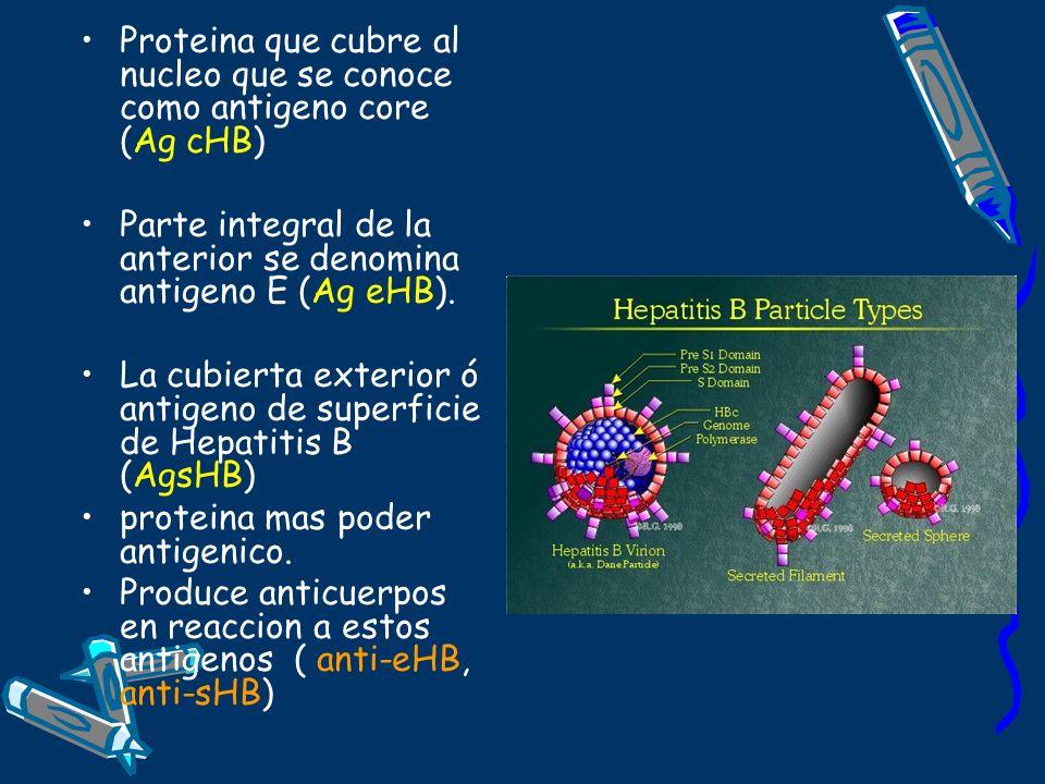 Proteina que cubre al nucleo que se conoce como antigeno core (Ag cHB)