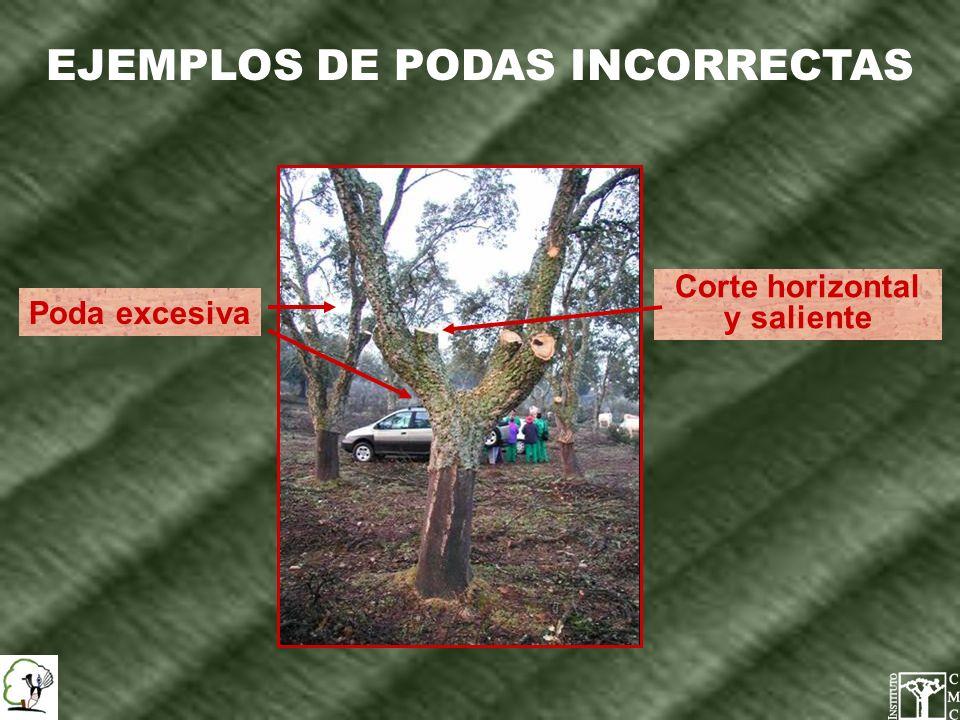 EJEMPLOS DE PODAS INCORRECTAS Corte horizontal y saliente