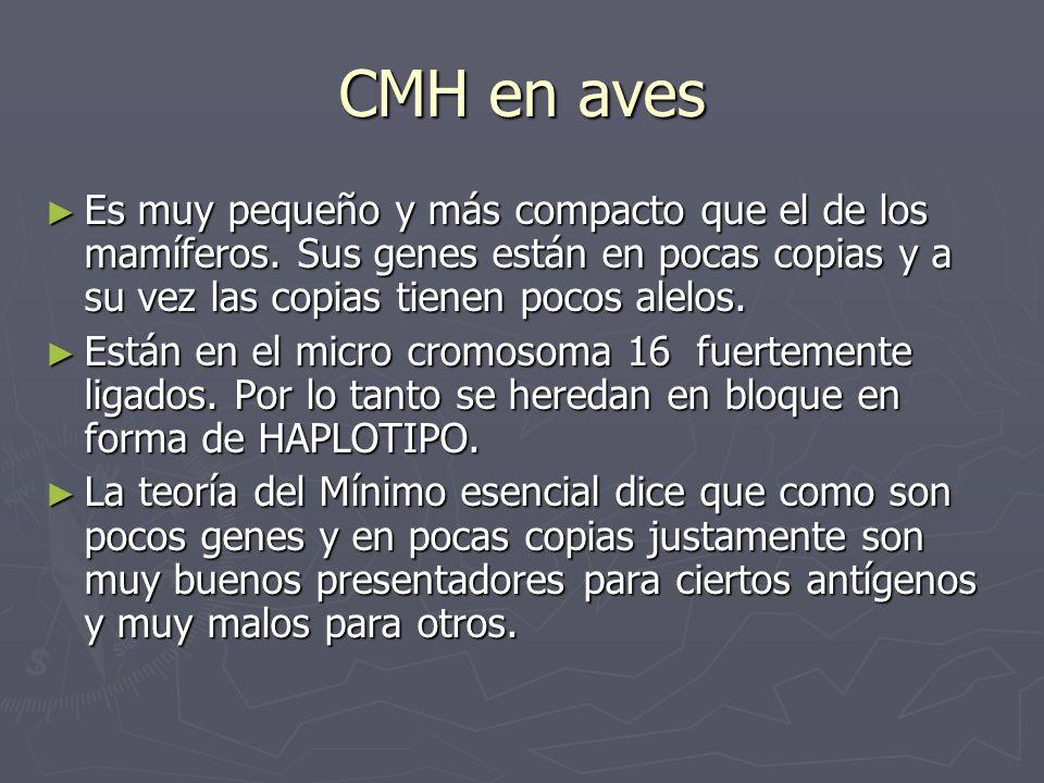 CMH en aves Es muy pequeño y más compacto que el de los mamíferos. Sus genes están en pocas copias y a su vez las copias tienen pocos alelos.