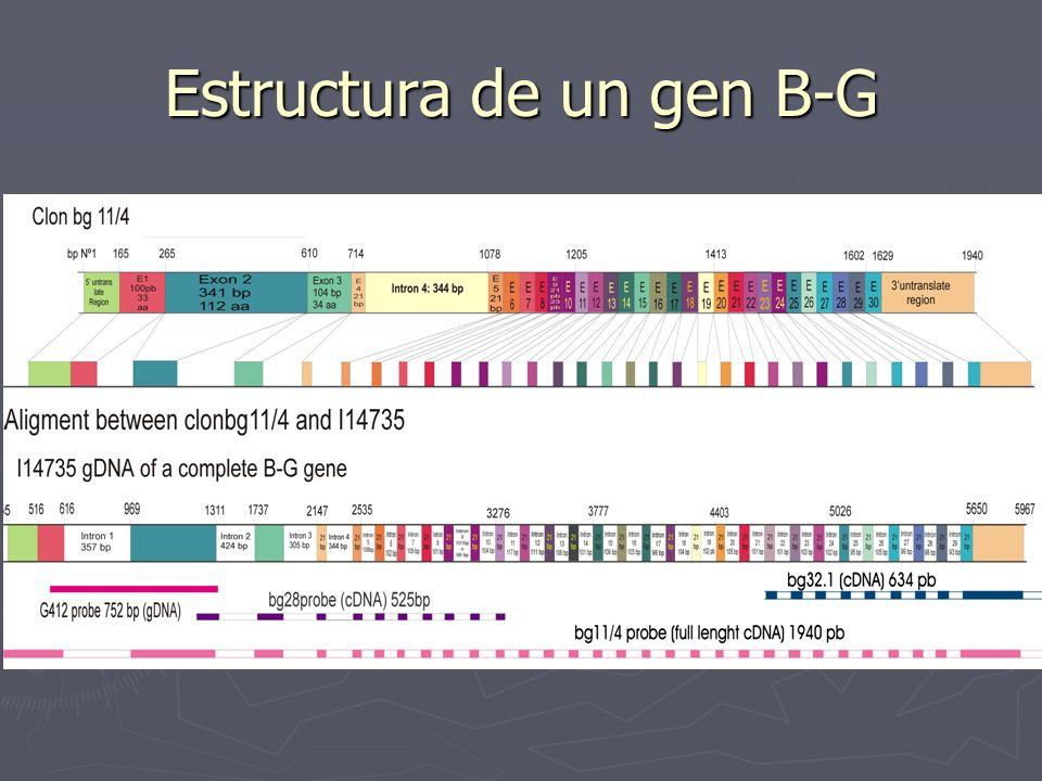 Estructura de un gen B-G