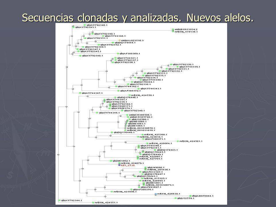 Secuencias clonadas y analizadas. Nuevos alelos.