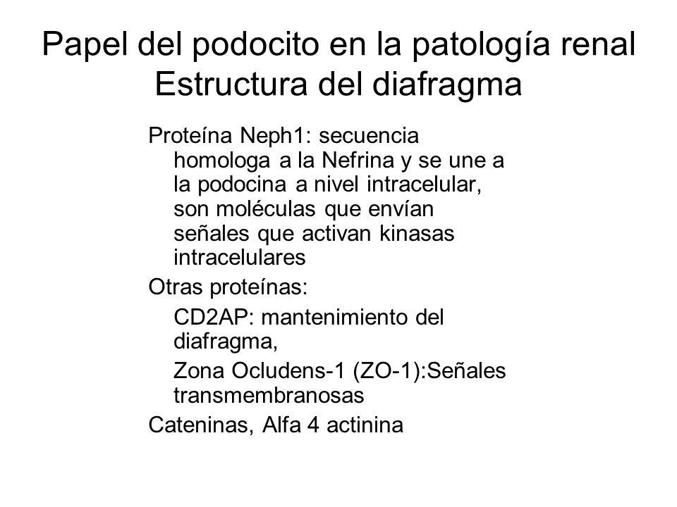 Papel del podocito en la patología renal Estructura del diafragma