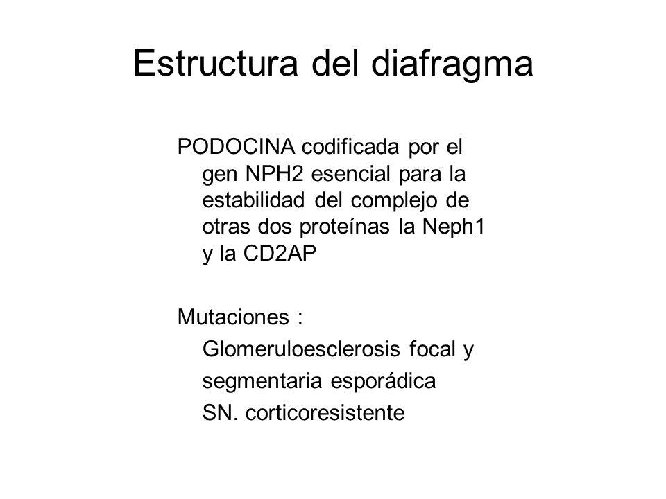 Estructura del diafragma