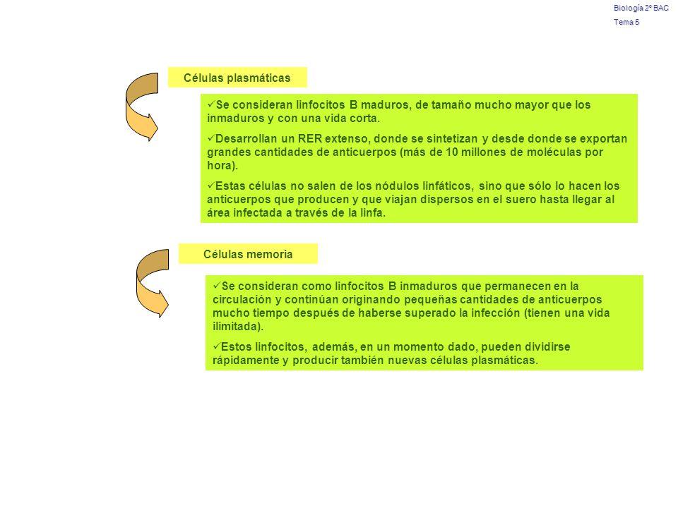 Células plasmáticas Células memoria