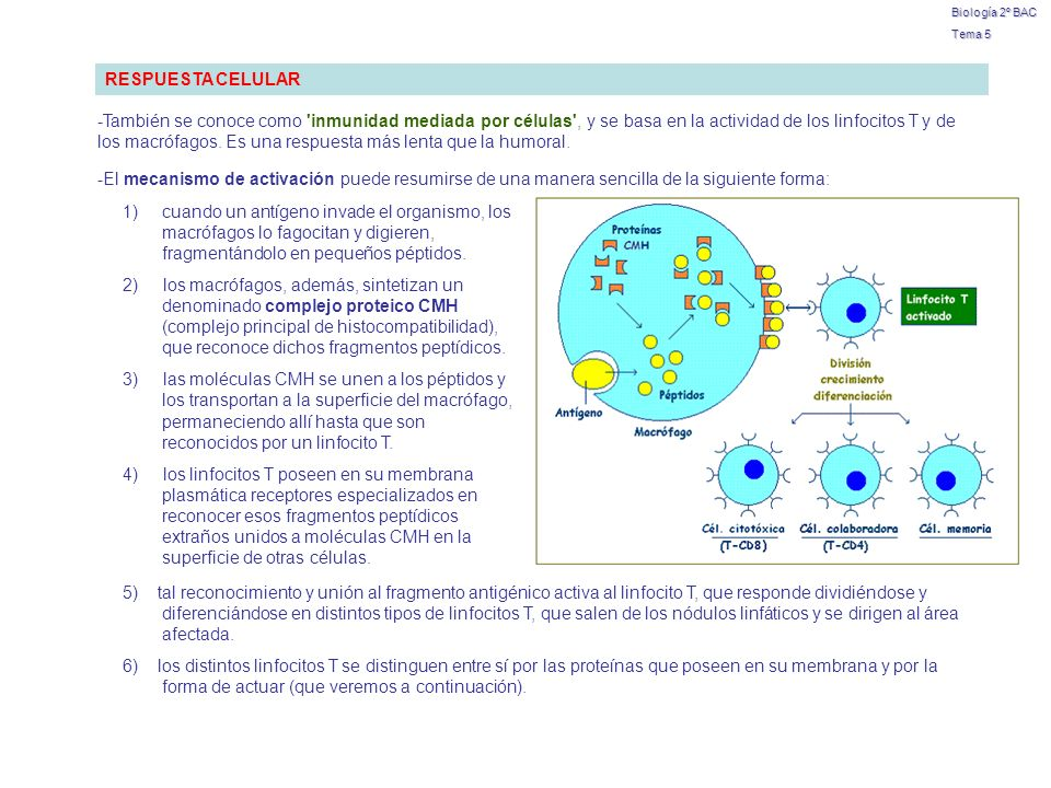 Biología 2º BAC Tema 5. RESPUESTA CELULAR.