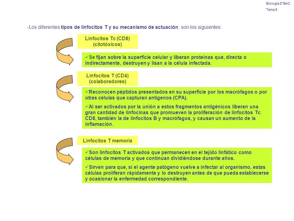 Biología 2º BAC Tema 5. -Los diferentes tipos de linfocitos T y su mecanismo de actuación, son los siguientes: