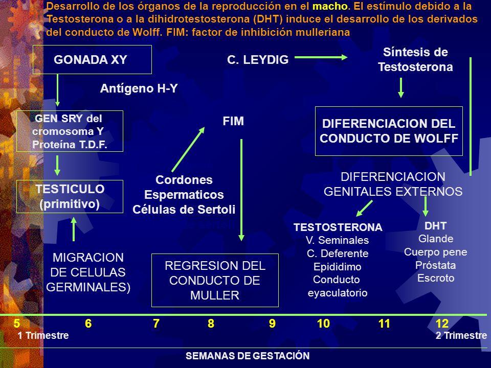 Síntesis de GONADA XY Testosterona C. LEYDIG Antígeno H-Y FIM