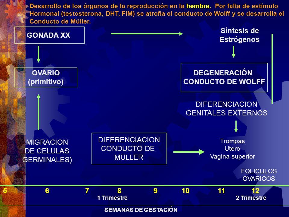 Síntesis de GONADA XX Estrógenos DEGENERACIÓN OVARIO CONDUCTO DE WOLFF