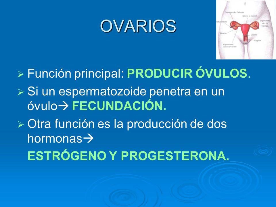 OVARIOS Función principal: PRODUCIR ÓVULOS.