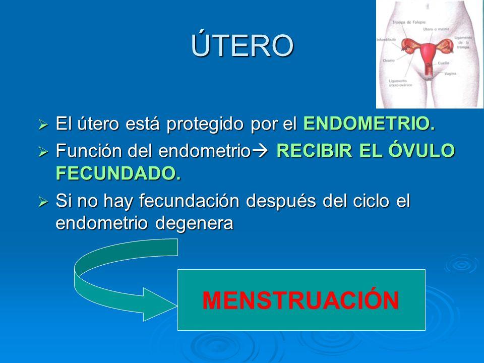 ÚTERO MENSTRUACIÓN El útero está protegido por el ENDOMETRIO.