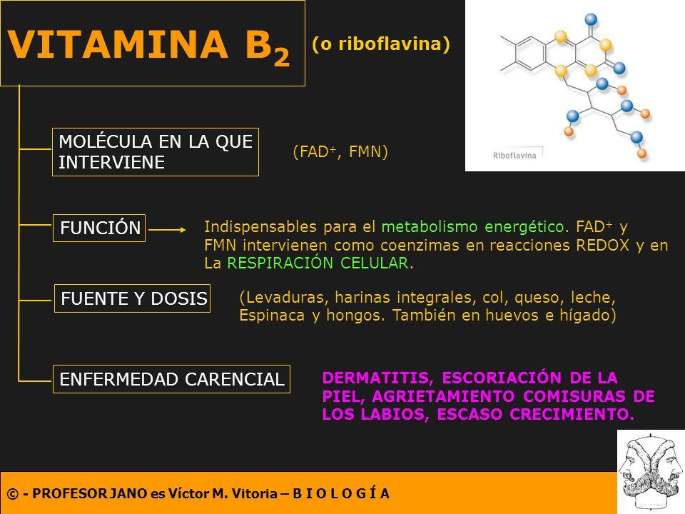 VITAMINA B2 (o riboflavina) MOLÉCULA EN LA QUE INTERVIENE FUNCIÓN