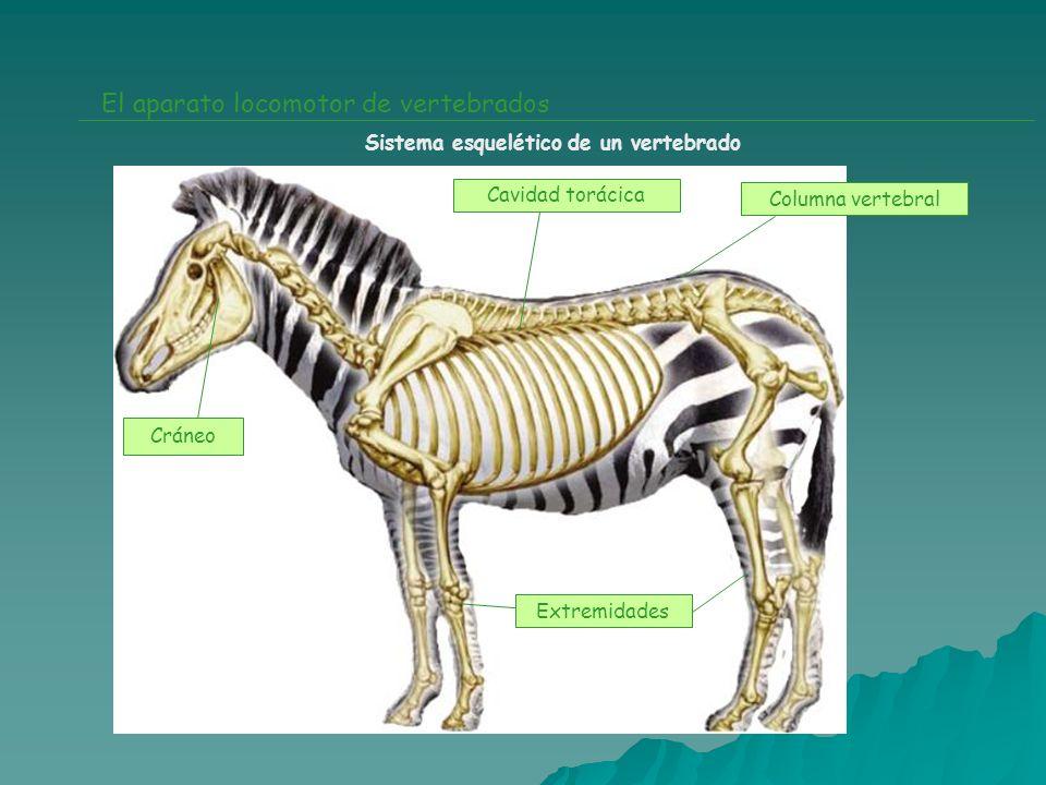 El aparato locomotor de vertebrados