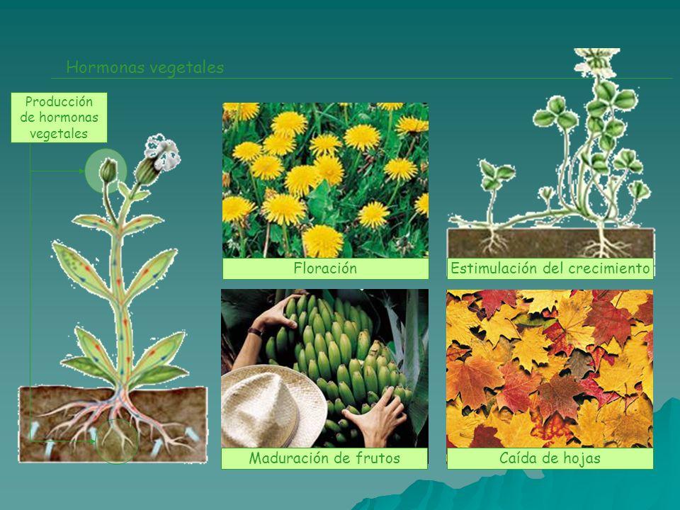 Hormonas vegetales Floración Estimulación del crecimiento