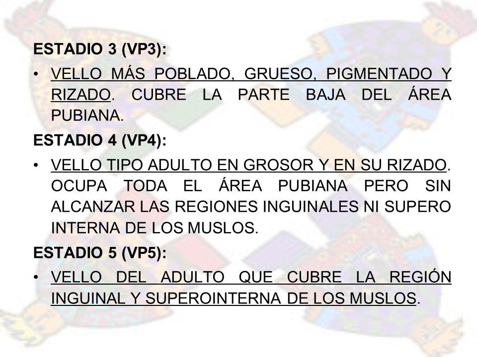 ESTADIO 3 (VP3): VELLO MÁS POBLADO, GRUESO, PIGMENTADO Y RIZADO. CUBRE LA PARTE BAJA DEL ÁREA PUBIANA.