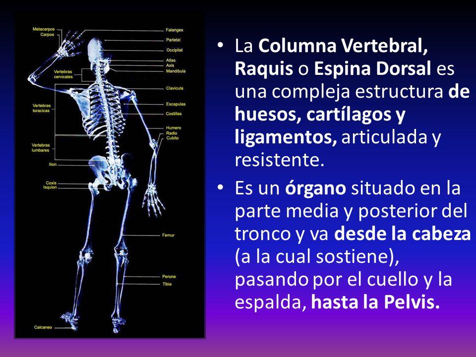 La Columna Vertebral, Raquis o Espina Dorsal es una compleja estructura de huesos, cartílagos y ligamentos, articulada y resistente.