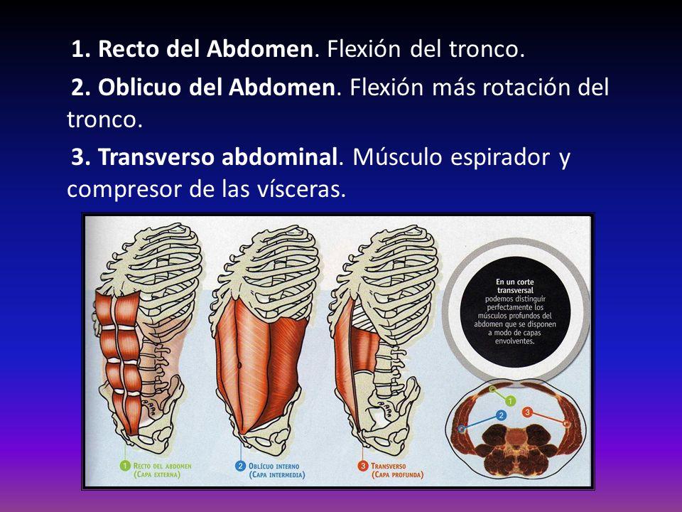 1. Recto del Abdomen. Flexión del tronco.