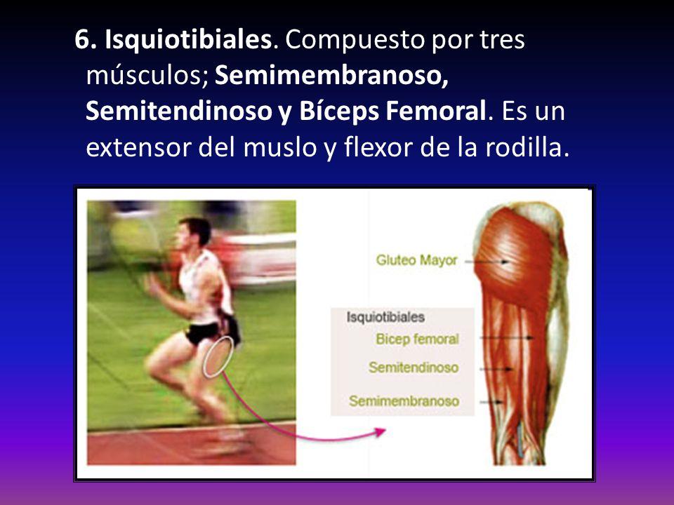6. Isquiotibiales. Compuesto por tres músculos; Semimembranoso, Semitendinoso y Bíceps Femoral.