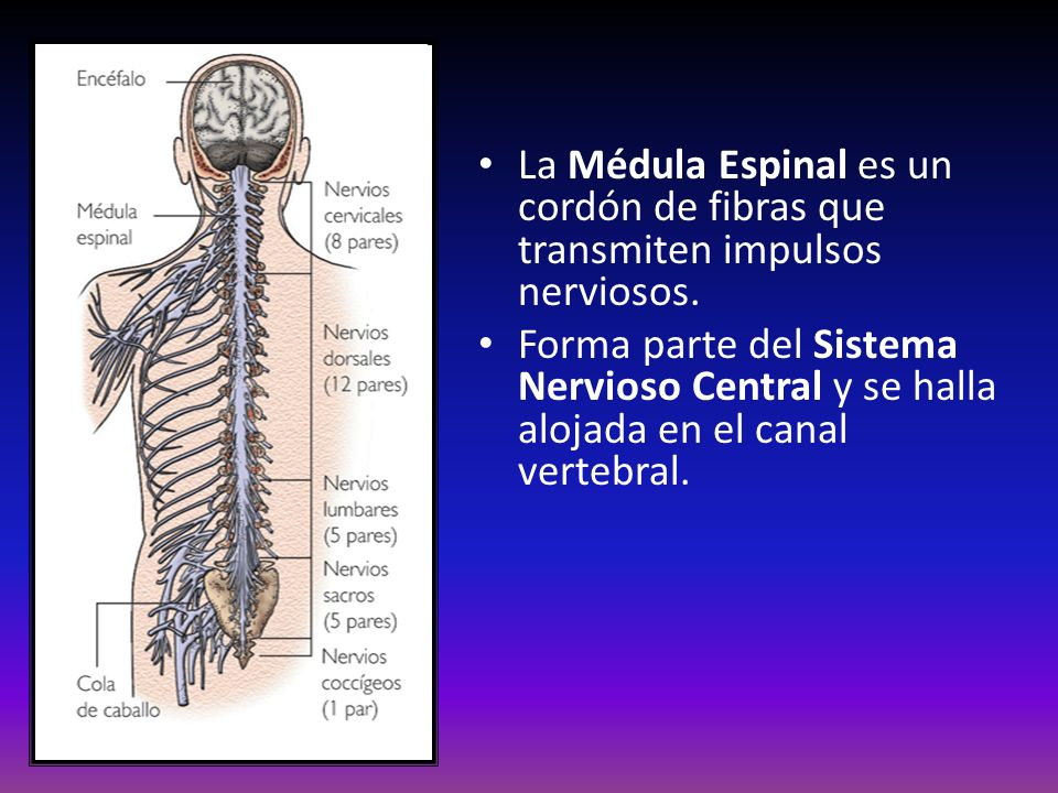 La Médula Espinal es un cordón de fibras que transmiten impulsos nerviosos.