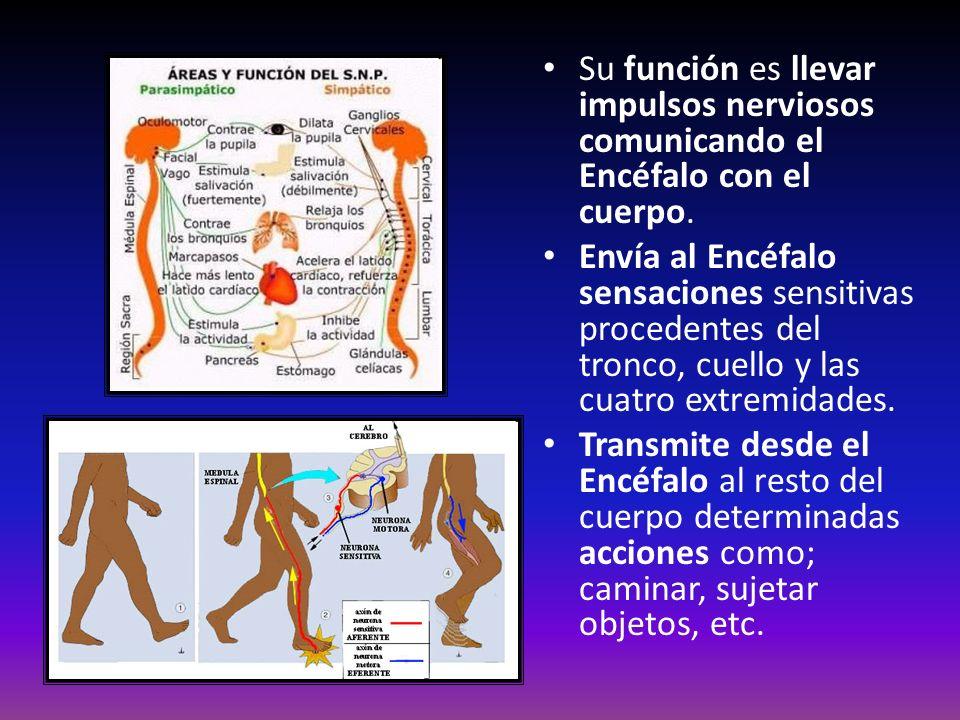 Su función es llevar impulsos nerviosos comunicando el Encéfalo con el cuerpo.