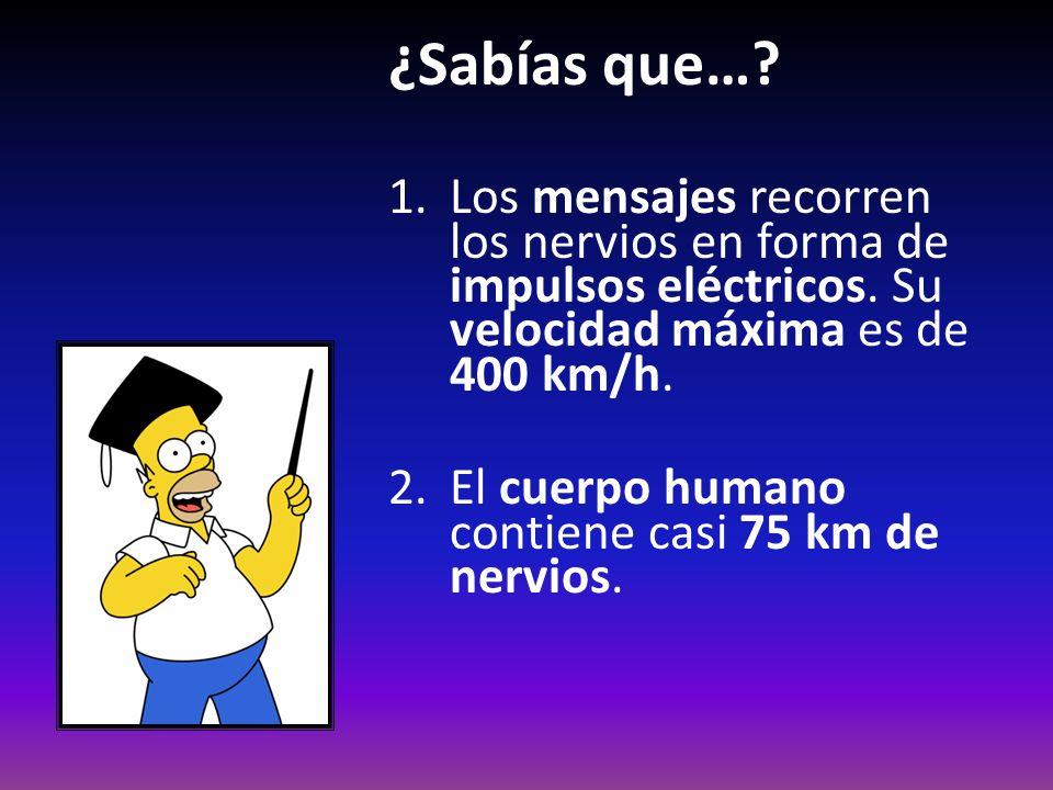 ¿Sabías que… Los mensajes recorren los nervios en forma de impulsos eléctricos. Su velocidad máxima es de 400 km/h.